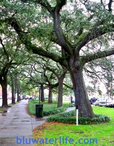 the live oak canopy is everywhere in Savannah ~~~