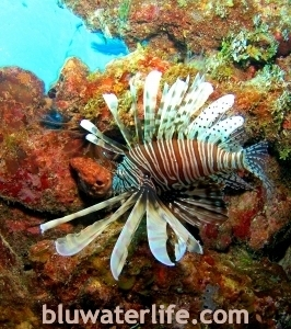 Lion Fish Bahamas
