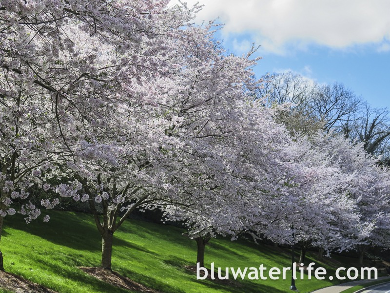 blooming cherry trees ~ present