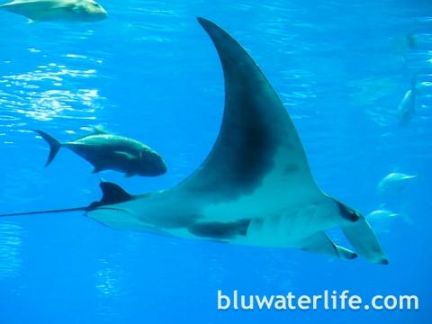 Georgia Aquarium Manta Rays
